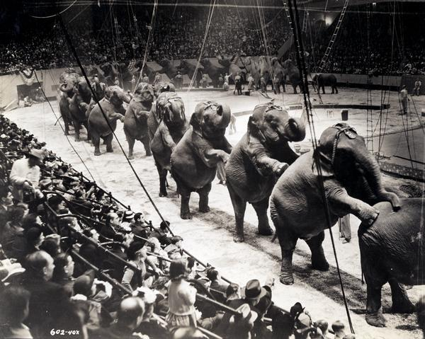 A group of over twenty-six Ringling Brothers, Barnum & Bailey Circus elephants, standing on their rear legs with front legs resting on the elephant ahead. They perform in a circus ring inside New York City's Madison Square Garden while watched by a large audience.