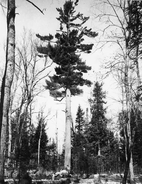 The largest white pine tree standing in America, with several people posing beneath it. Its estimated age is 350-years-old.