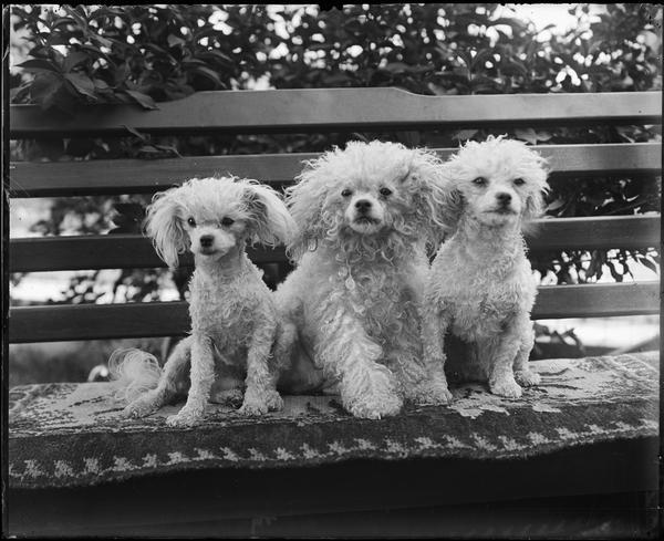 The photographer's poodles pose on a bench.