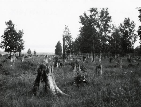 A field of tree stumps beginning to be overgrown with vegetation.