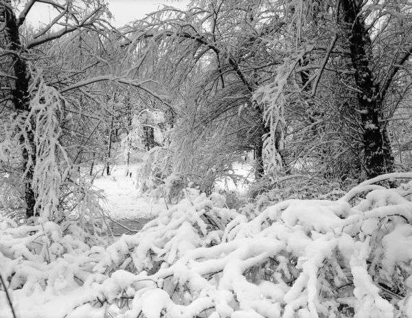 Winter scene with a cluster of trees with limbs, some bowed down, covered with heavy snow.