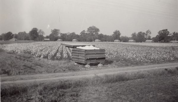 Piles of cotton fill a storage bin at the Hopson Planting Company plantation.