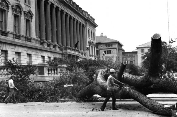 Last elm tree on State Street being cut down. The Wisconsin Historical Society and the Memorial Union are in the background.