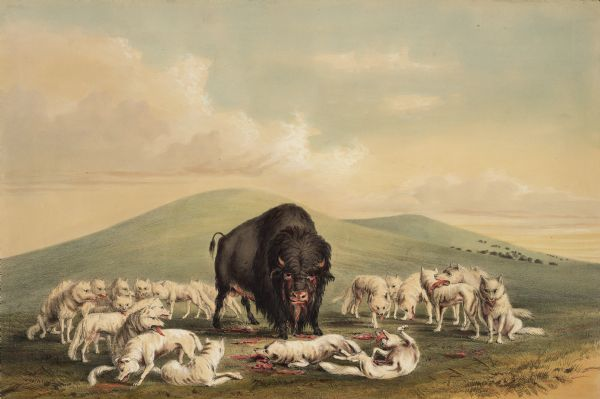 "A buffalo surrounded by wolves (Plate 10).<p>""There are several varieties of the wolf species on the American prairies, the most numerous and formidable of which is the white wolf, found in great numbers in high latitudes and near the Rocky Mountains. These animals are equal in size, in many instances, to the largest Newfoundland dog; and, from the whiteness of their hair, appear, at a distance on the green prairies, much like a flock of sheep, and often are seen to the number of fifty or a hundred in a pack; and in this way following the numerous herds of buffaloes from one end of the year to the other, gorging their stomachs with the carcasses of those animals that fall by the hands of the hunters or from sickness and old age. Whilst the buffaloes are grouped together, the wolves seldom attack them, as the former instantly gather for the combined resistance, which they effectually make. But when the herds are traveling, it often happens that an aged or wounded one lingers at a distance behind, and when fairly out of sight of the herd, is set upon by swarms of these voracious hunters, which are sure to last to torture him to death, and use him up at a meal.""</p>"