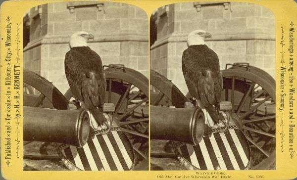 Stereograph portrait of Old Abe, the mascot of the 8th Wisconsin Civil War Volunteer Infantry at the capital building. Rear view of Old Abe perched on a shield with American stars and stripes painted on it. The shield leans on a cannon and a stone building is visible in the background. Included in Bennett's Wayside Gems series.