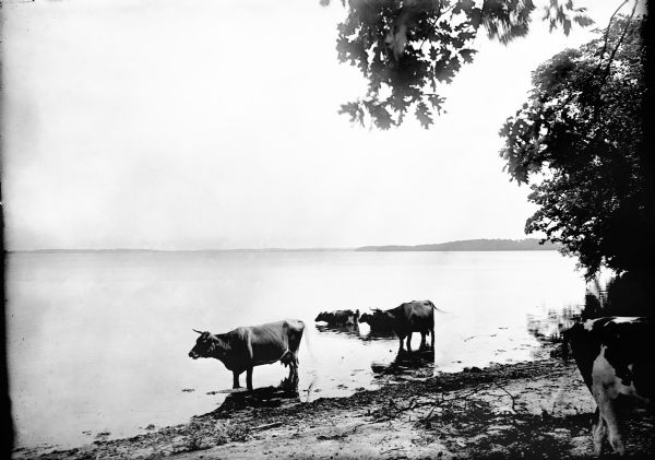 Four cows stand in the water, and another stands in the foreground on the Turvill shoreline.